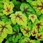 Heucherella x tiarelloides Stoplight